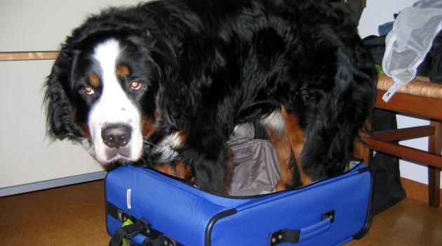 chien-dans-une-valise-630x350