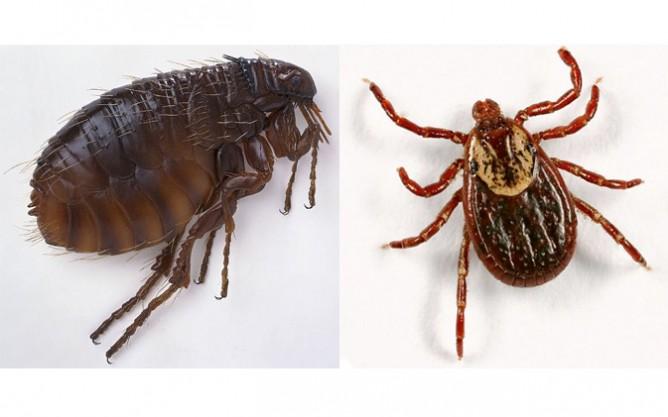 fleas-and-ticks-668x417